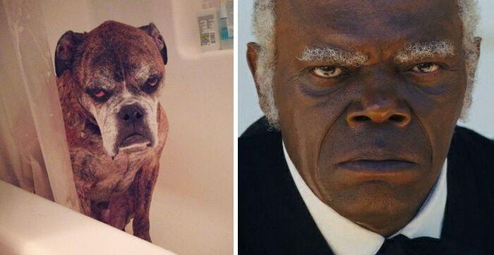 Пес похож на Сэмюэла Джексона.