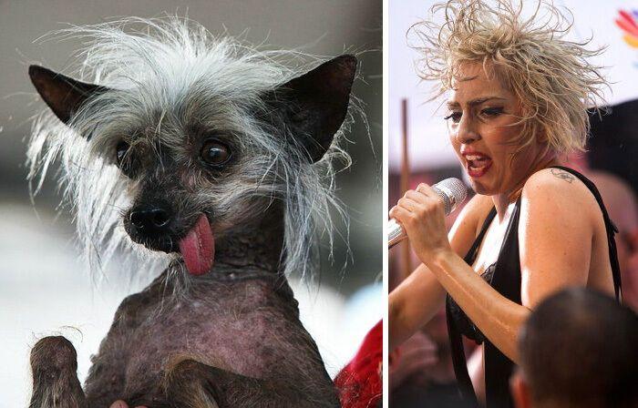 Пес похож на Леди Гагу.