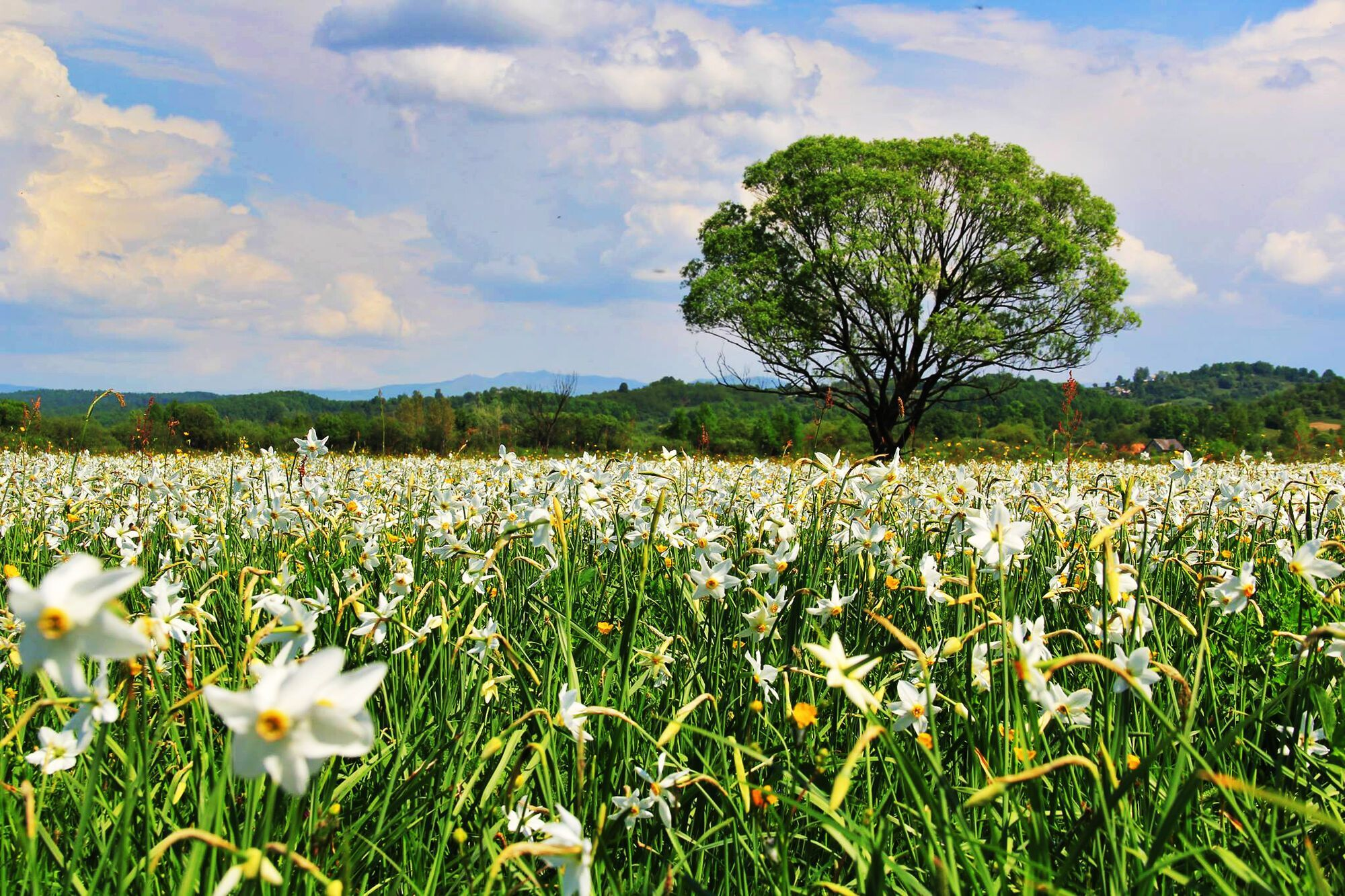Долина нарцисів у травні досягає піку цвітіння.