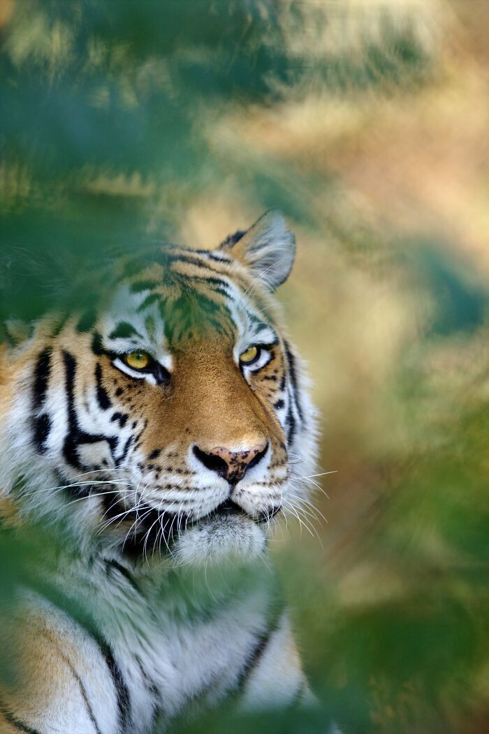 Суворий тигр, наче з картини.