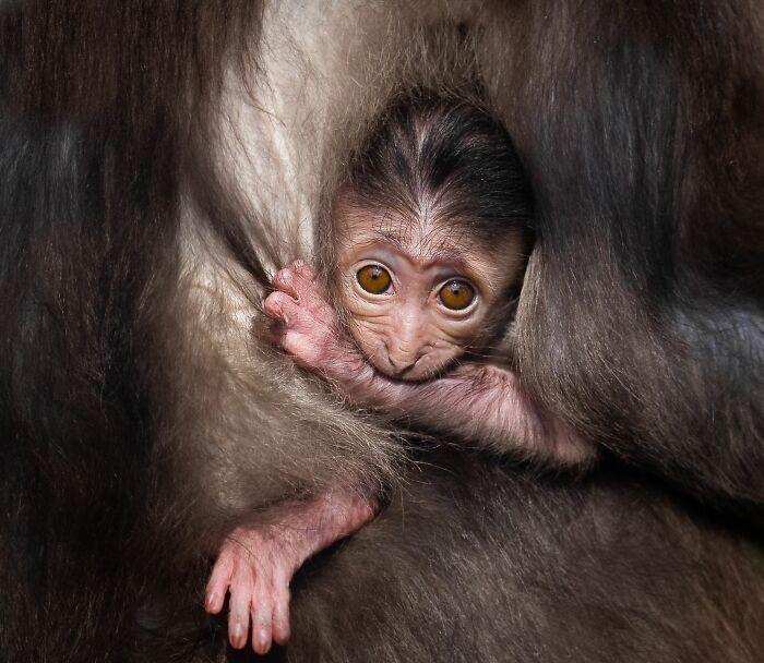 Мавпеня сидить в обіймах мами.