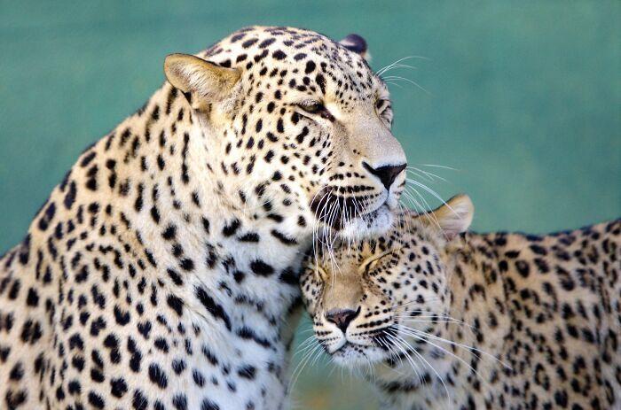 Леопард пригорнув свою кохану