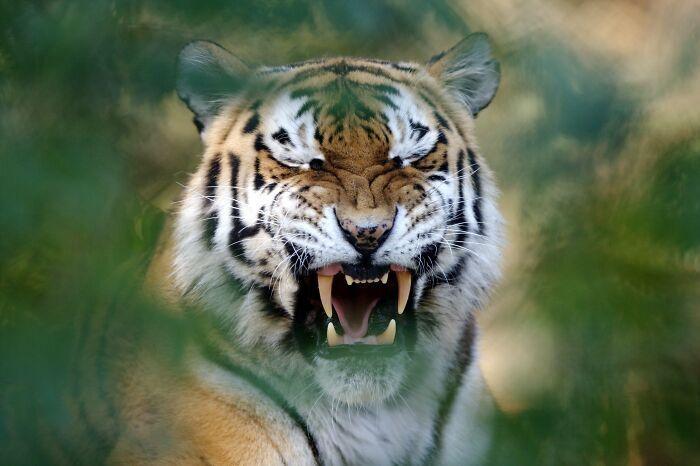 Тигр позіхає після нічного відпочинку