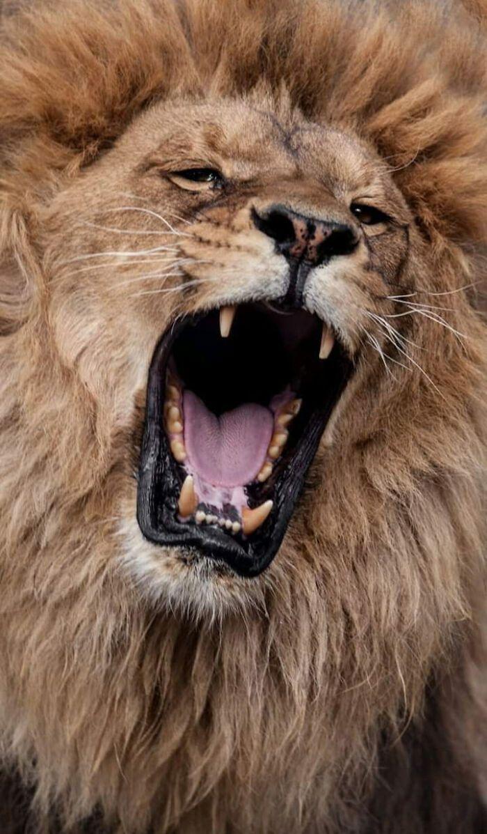 Лев повернувся з полювання.