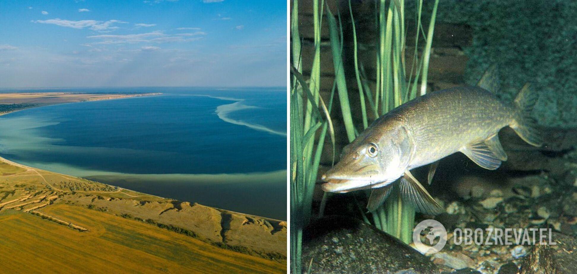 У Дніпровсько-Бузькому лимані мешкає понад 80 видів риби