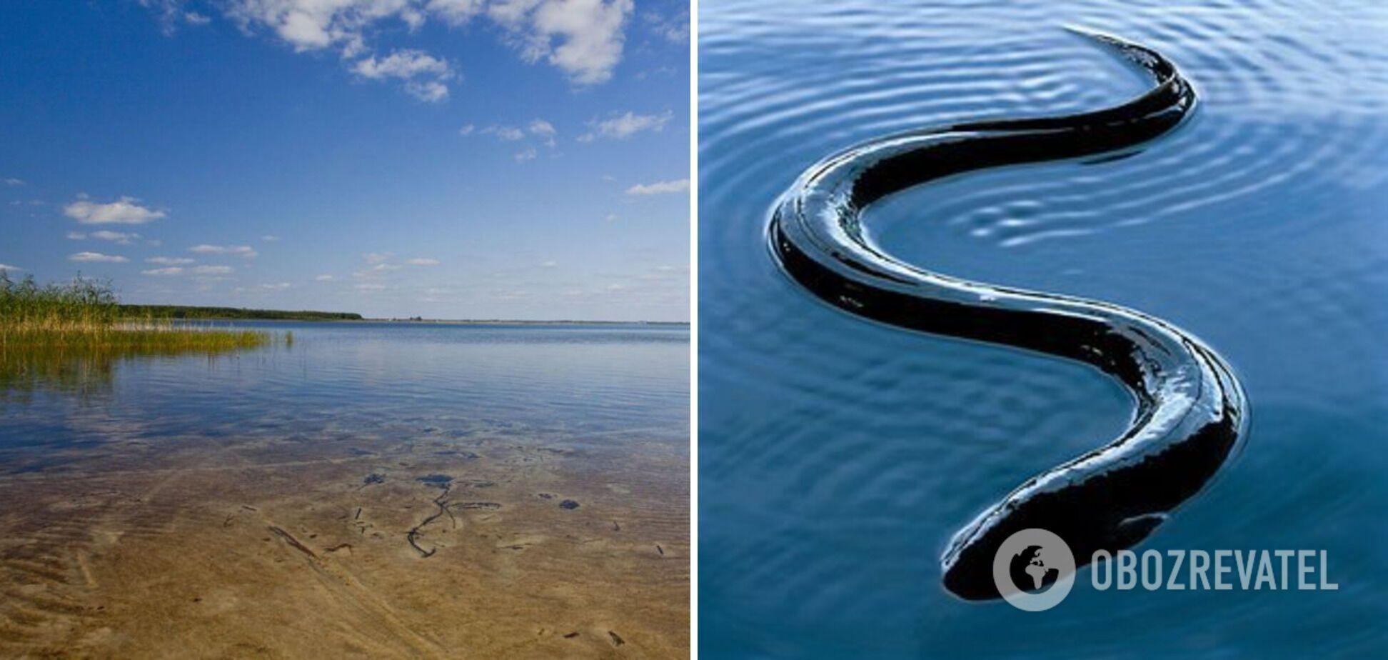 На озері Світязь можна спіймати вугра
