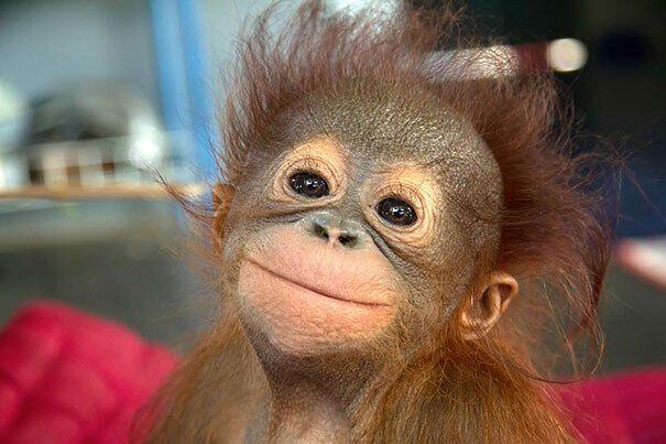 Маленькая обезьяна улыбается на камеру