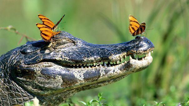 Бабочки окружили крокодила со всех сторон