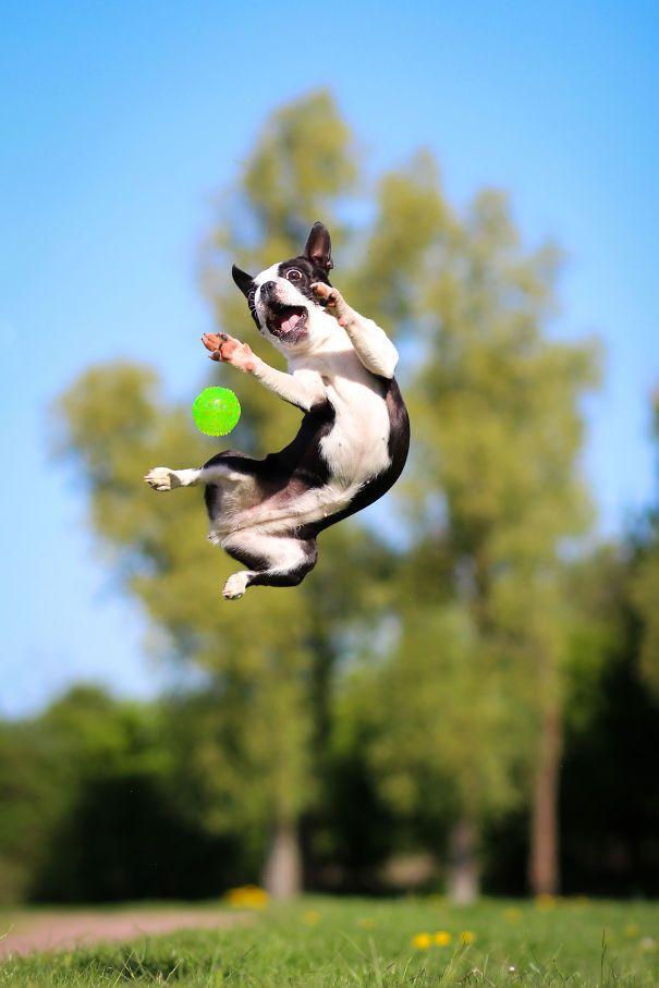Ловкий пес ведет охоту за мячом