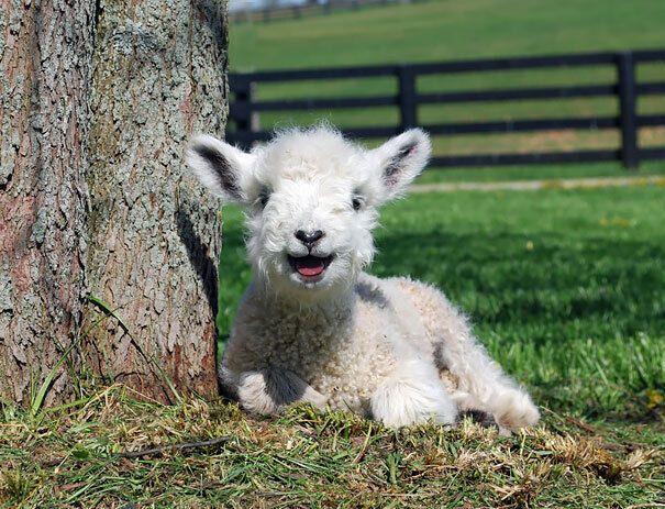 Маленькая овца улыбается