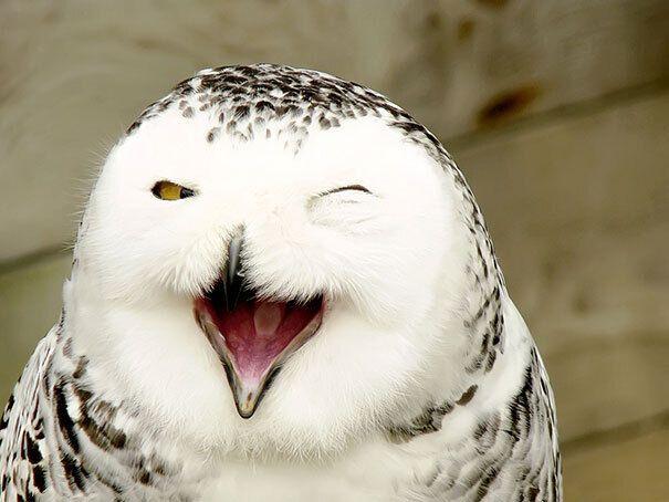 Белая сова позирует в кадре.