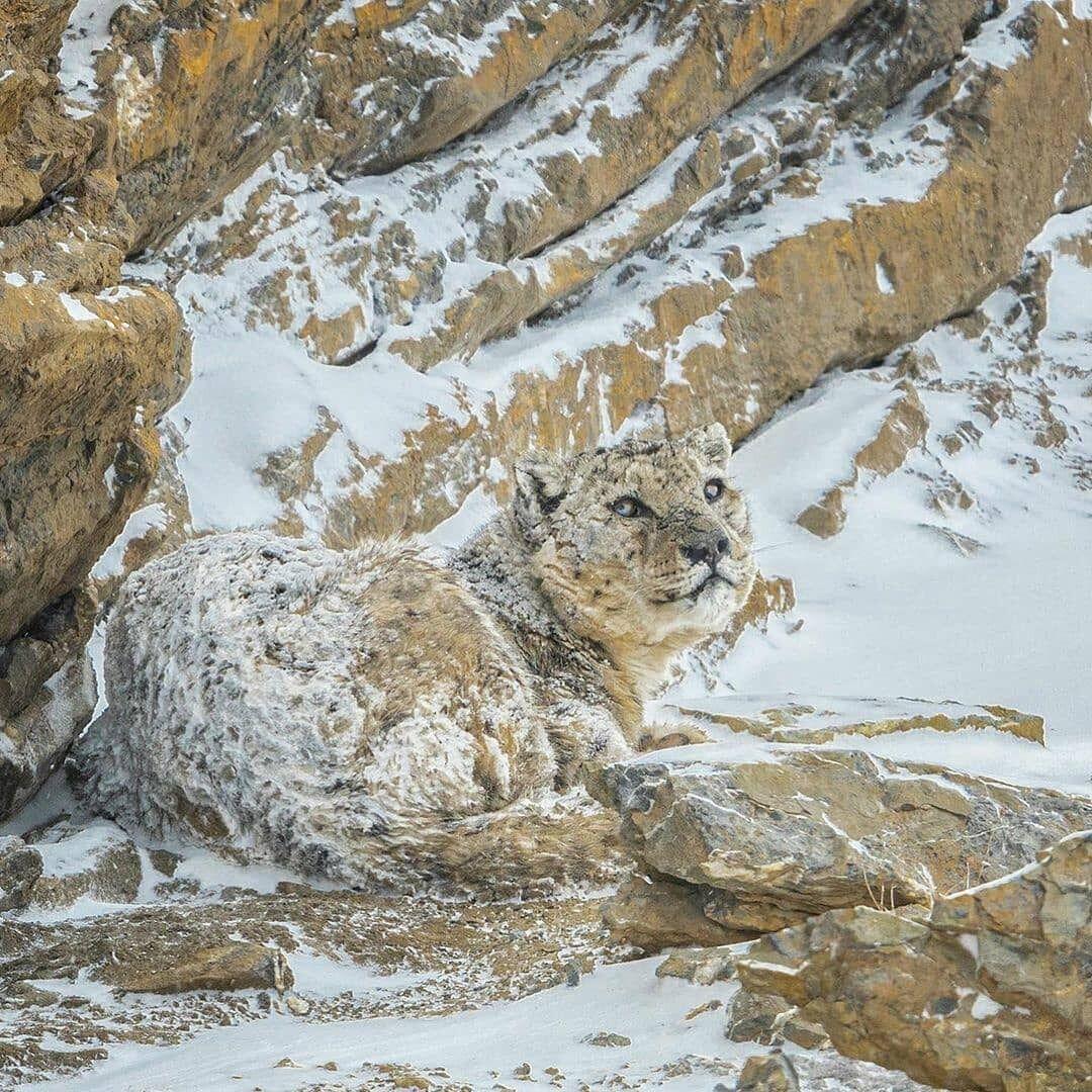 В сети показали фото снежного барса, благодаря своей масти слившегося с пейзажем