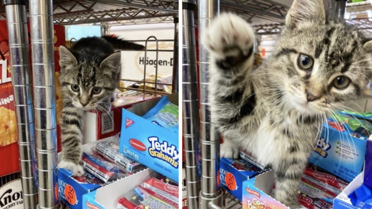 Смугастий кіт заграє з покупцями
