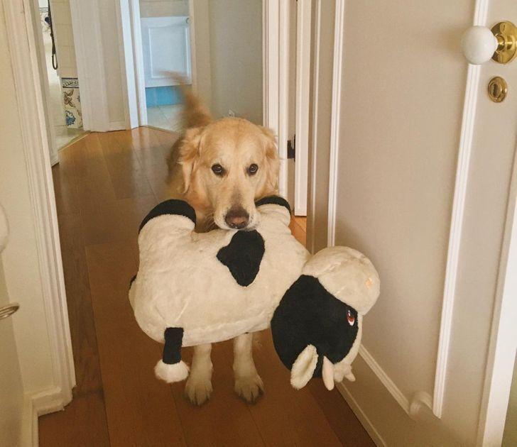 Улюблена іграшка мого пса - корова розміром в половину нього.