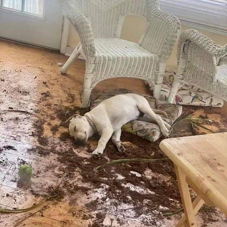 Цуценя рознесло альтанку, а потім завалилося спати