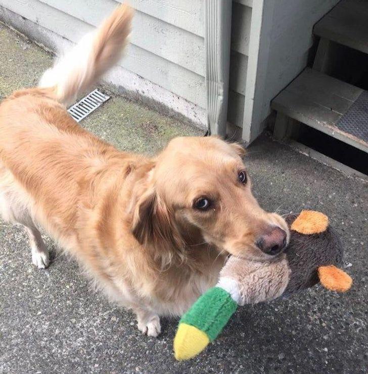 Соседский пес приносит любимые игрушки.