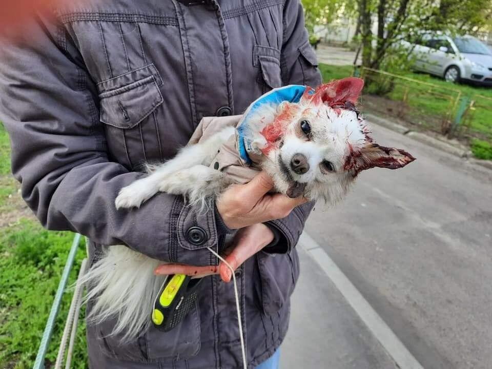 Собачка, которую загрыз терьер