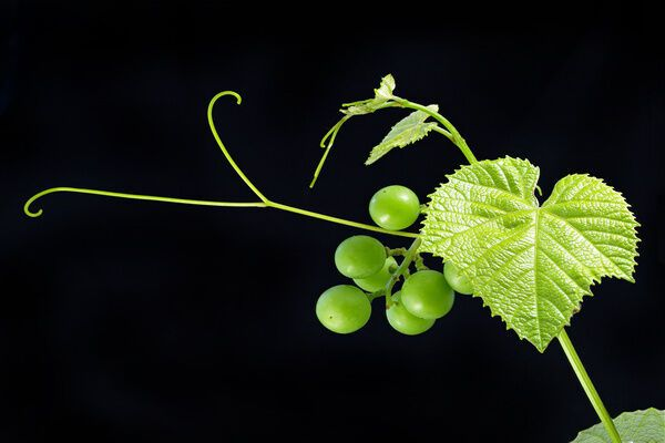 Виноградные усики – особенный деликатес.