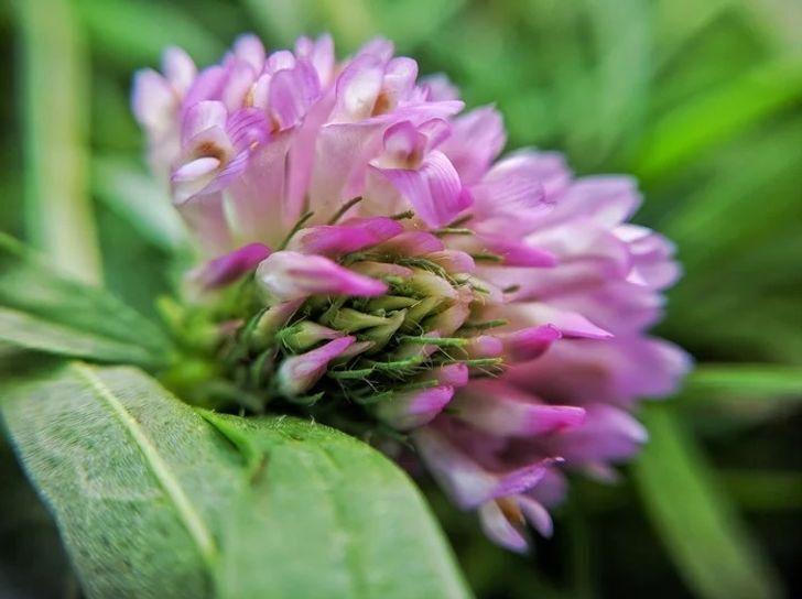 У цветов клевера очень сладкие лепестки.