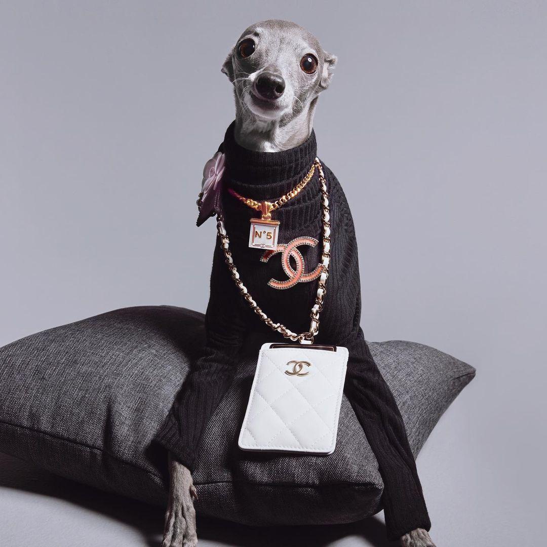 Собака позує в модному вбранні