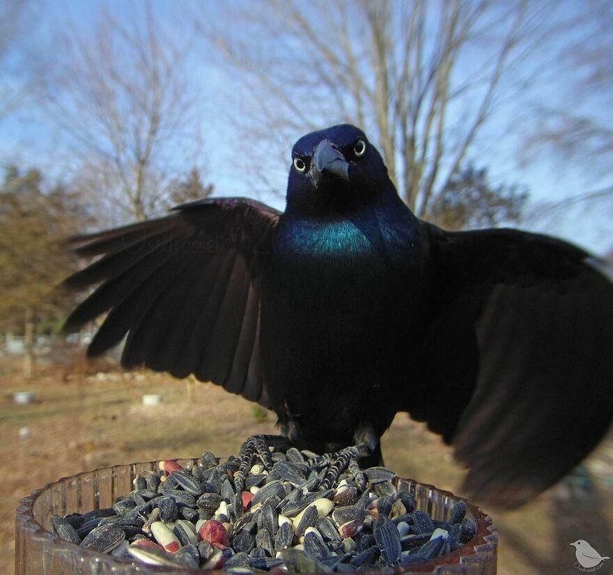 Ворон расправил крылья.