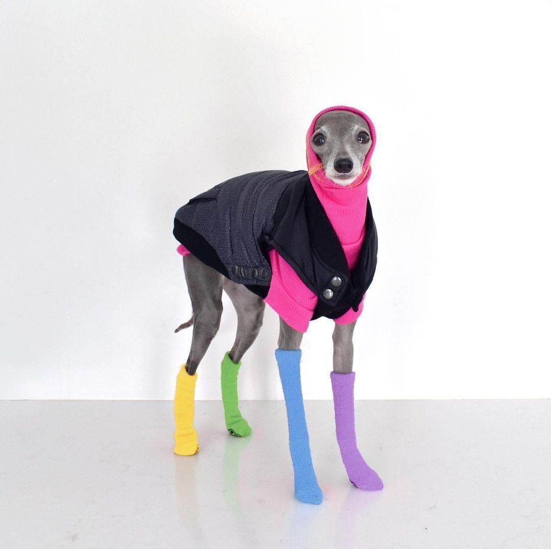 Собака-модник на кличку Тіка