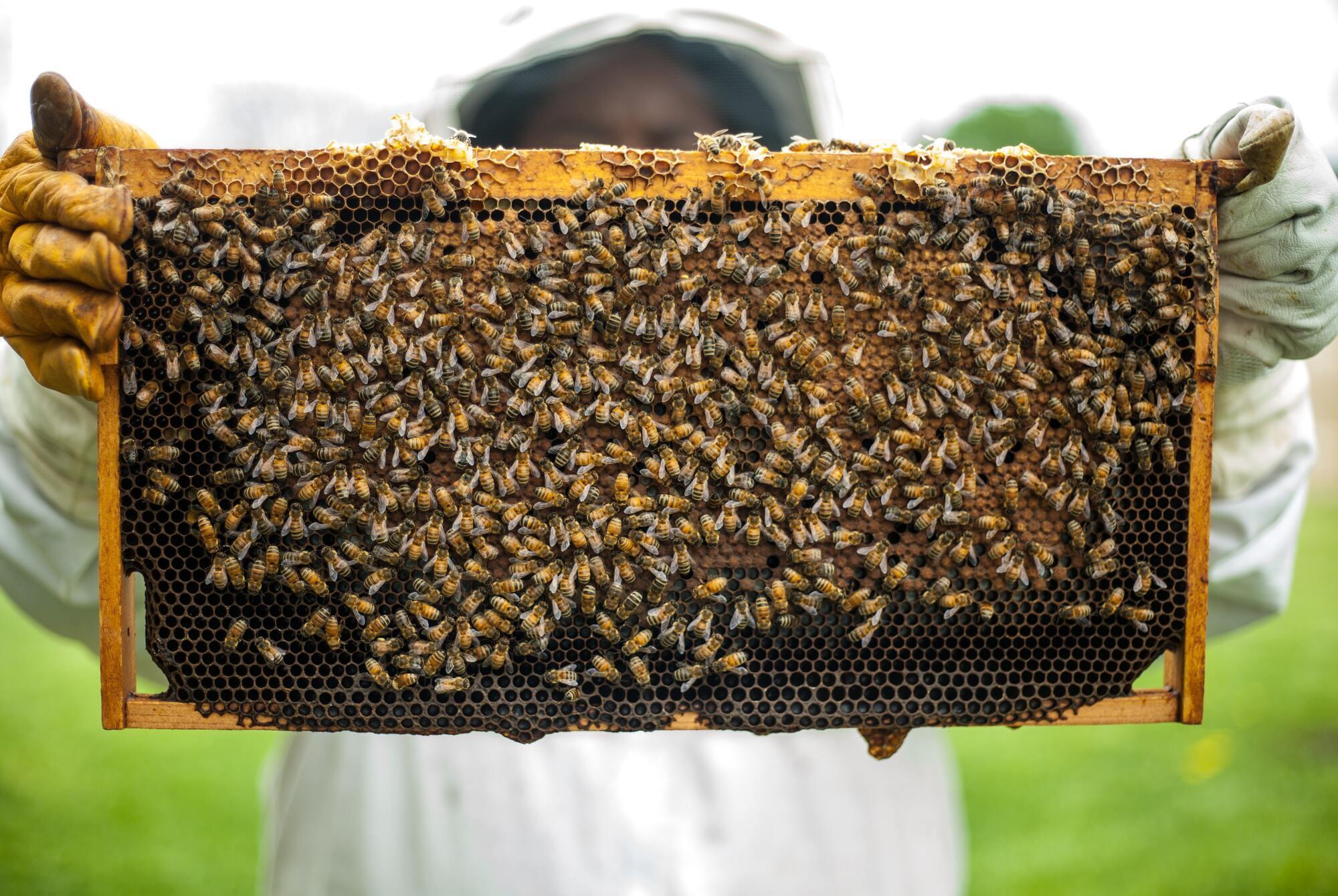 Если погода на Зосиму выпадает хорошая, пчел выпускают на облет.