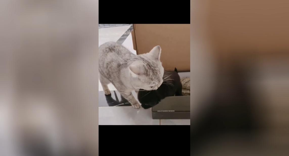 Забавные попытки кошки украсть щенка