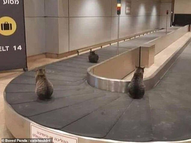 Коты сидят на ленте для багажа.