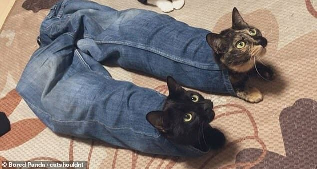 Кошки спрятались в джинсах.