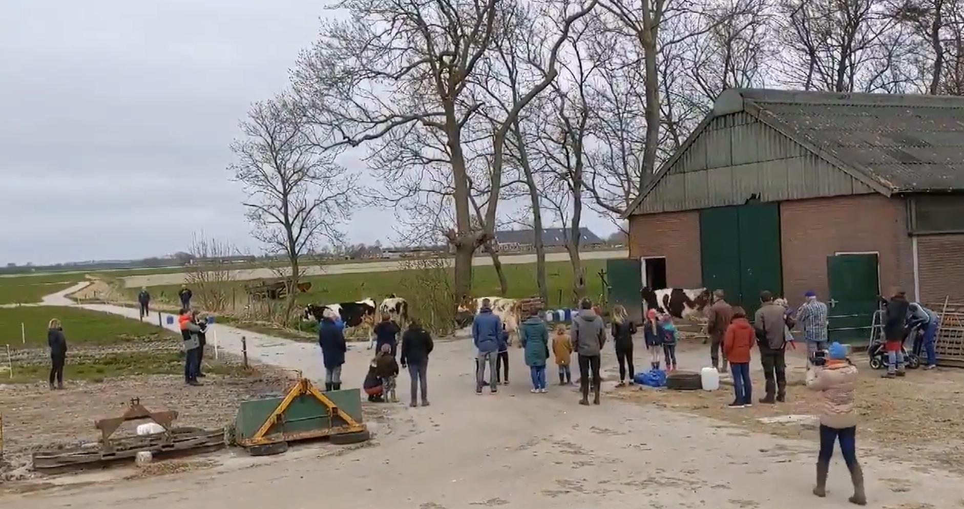Кадр из видео с коровами в Нидерландах