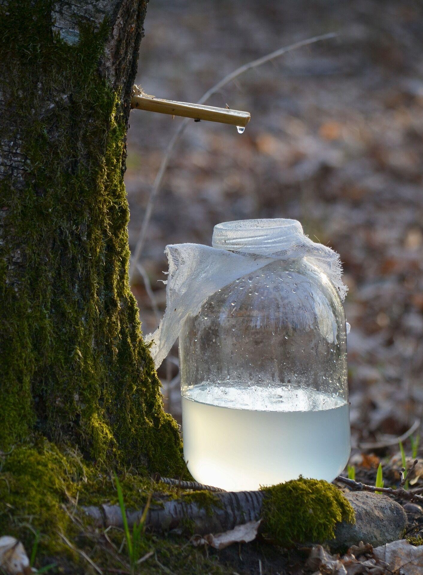 На Берещенье наши предки выходили в рощу слушать березы, чтобы определить, началось ли движение сока