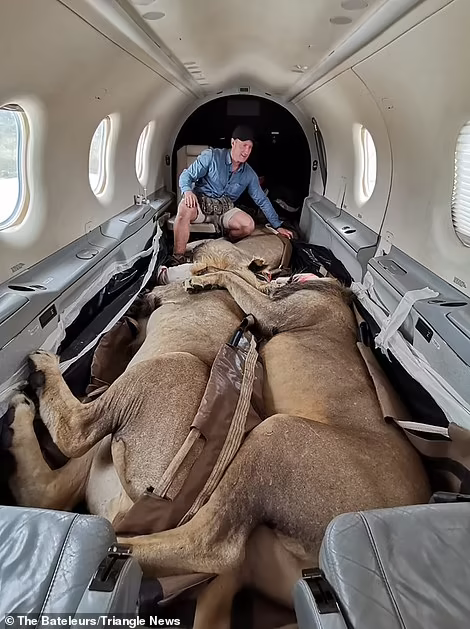 Львов усыпили и поэтому они крепко уснули по дороге в самолете