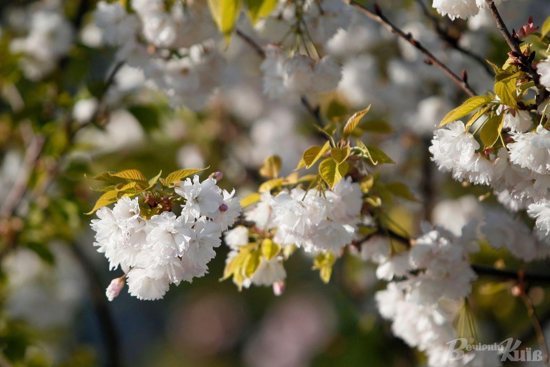 Насолодитися квітами можна до кінця квітня.