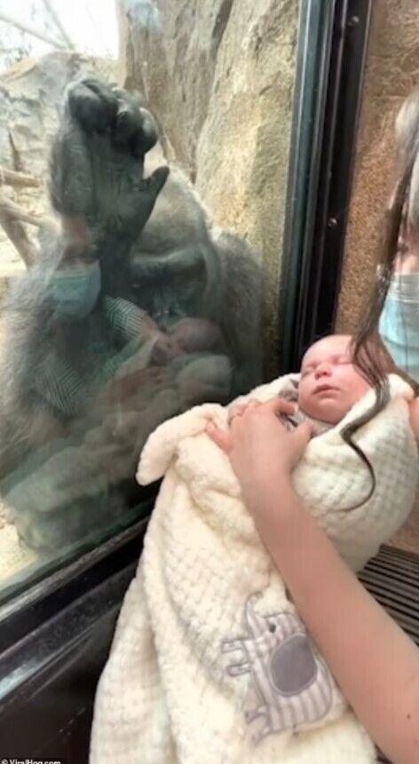 Горила дивиться на дитину.