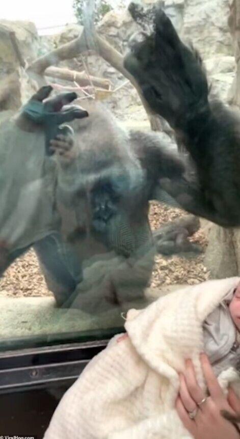 Реакція горили зворушила людей.