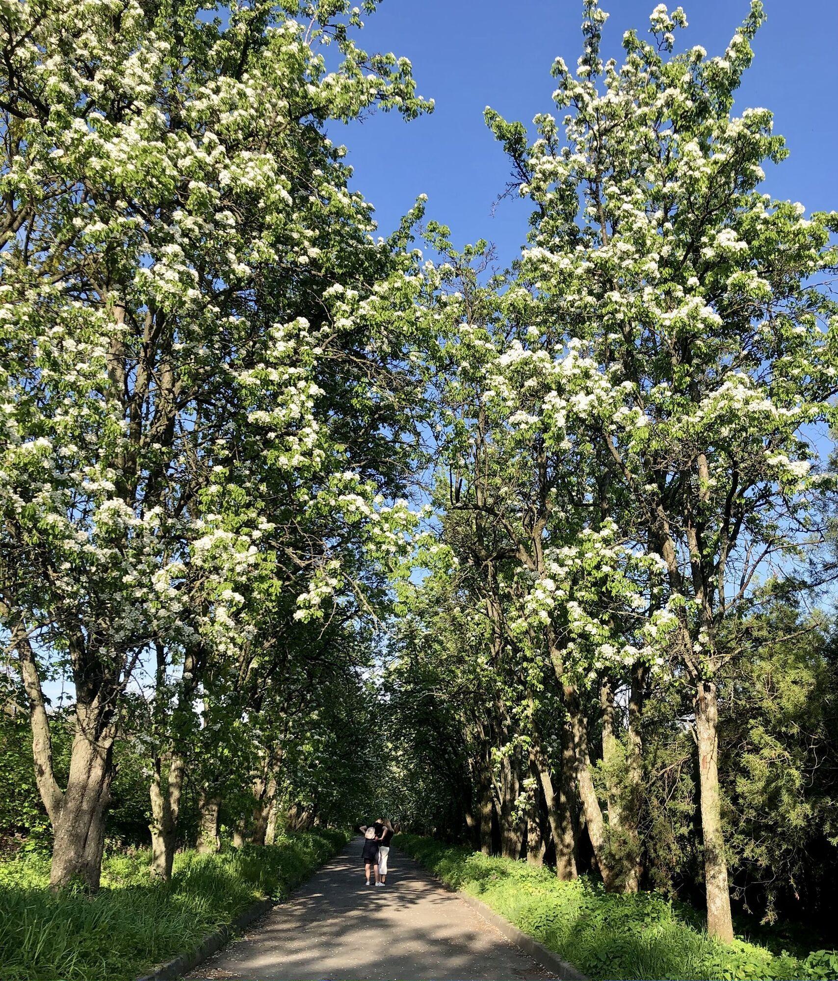 Розквітли також яблуні та груші