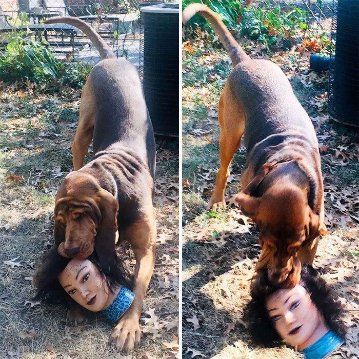 Пес грається з головою ляльки