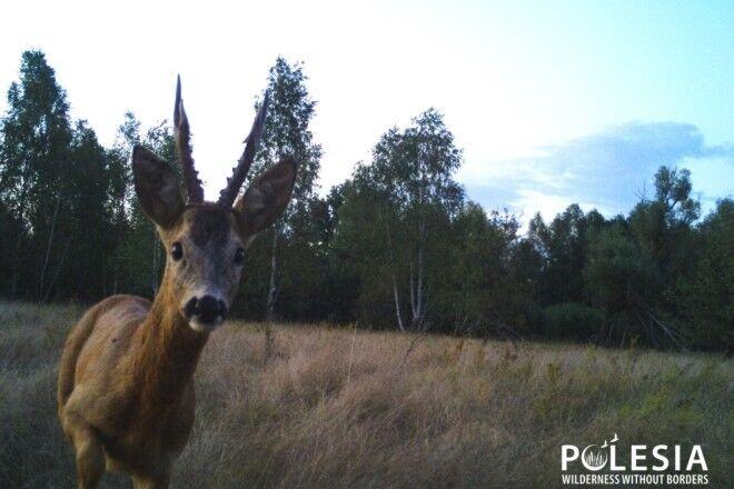 Количество изысканных животных в зоне отчуждения уменьшается