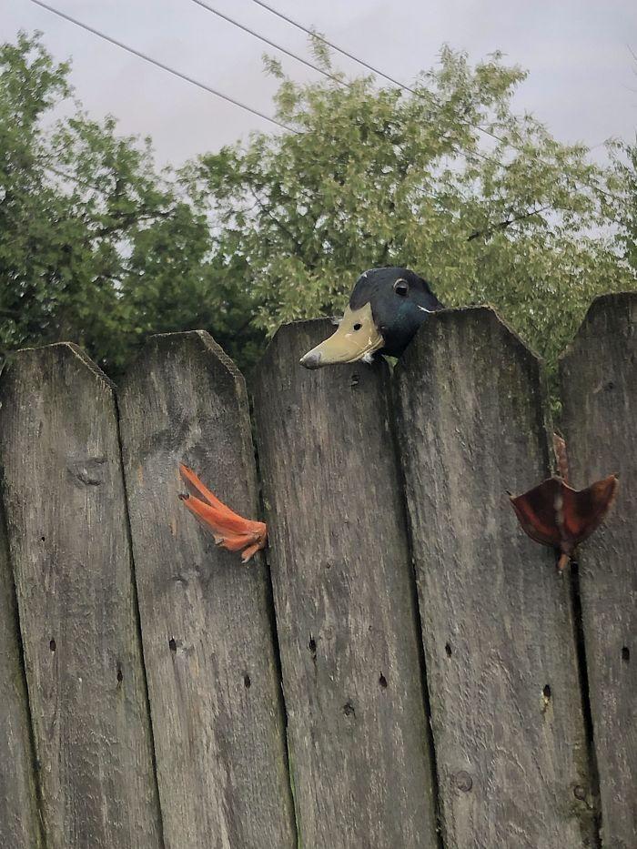 Гусак не зміг подолати паркан.