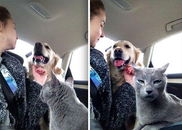 Кот ревнует хозяина к собачке.