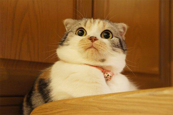 Милый кот никогда не выглядел столь шокированным.
