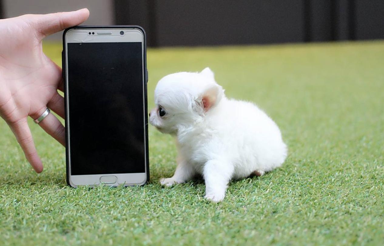 Чихуахуа вважається найменшою породою собак у світі.