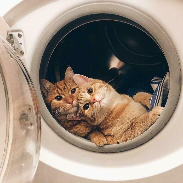 Коти залізли у пральну машинку
