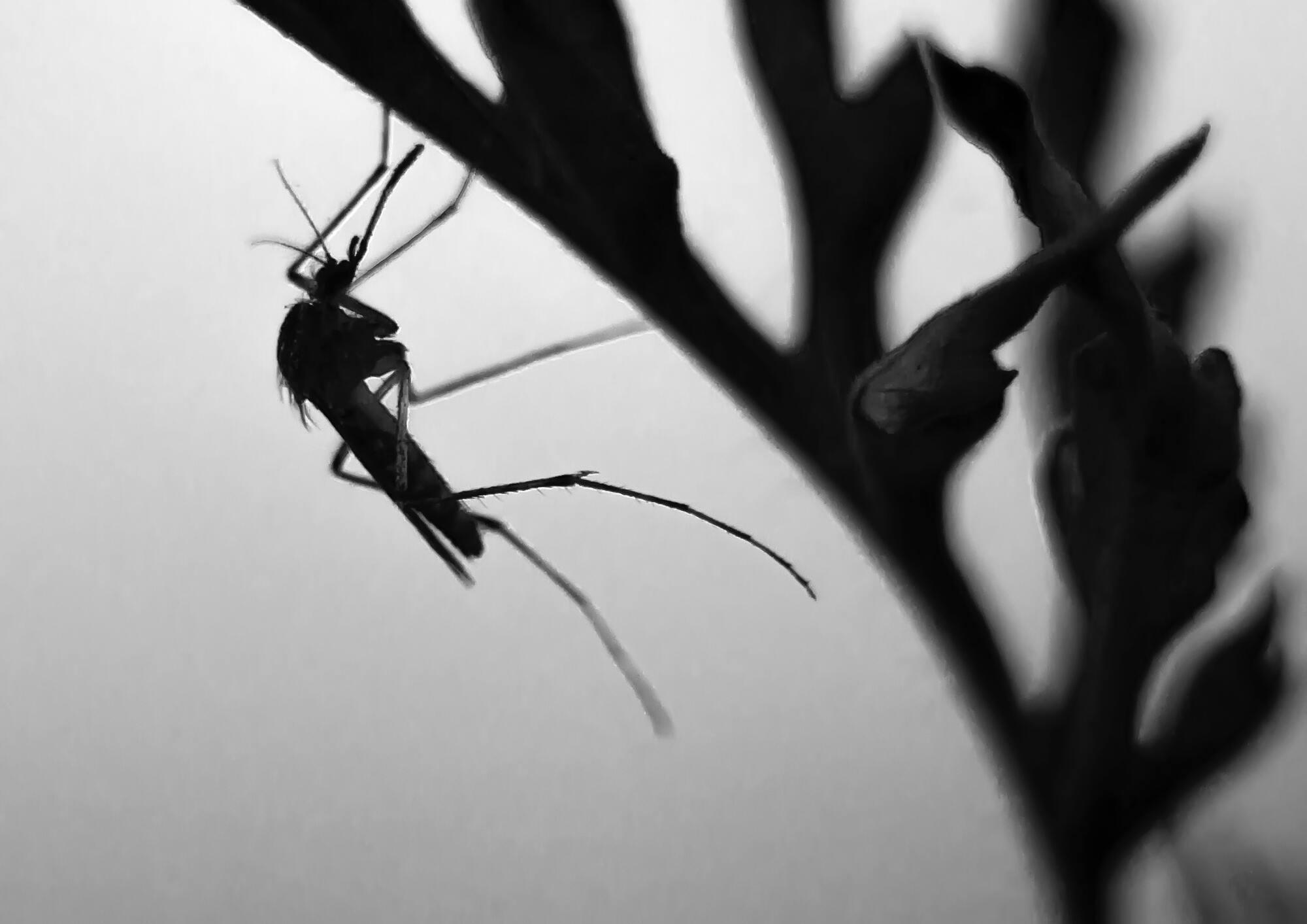 Комарницею цей день назвали на честь комарів, які зазвичай з'являються з цього дня.