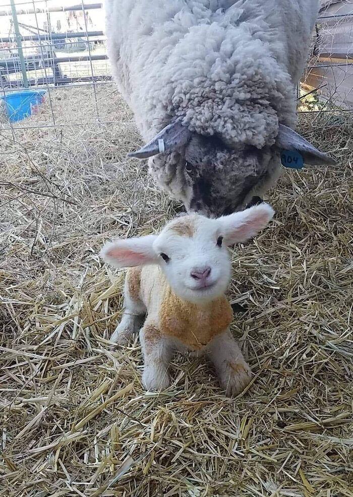 Маленьке козеня посміхається на камеру