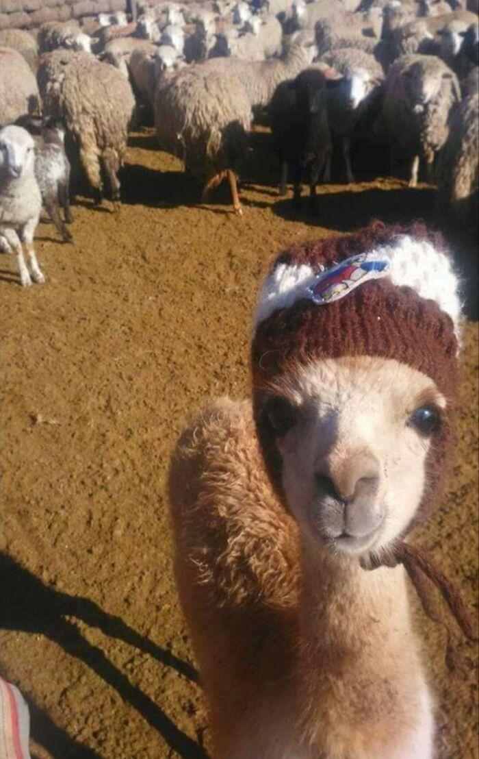 Ламі одягли вовняну шапочку