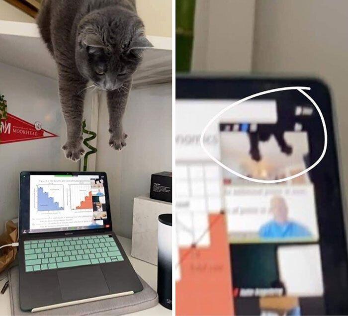 Кіт заважає проводити онлайн конференцію