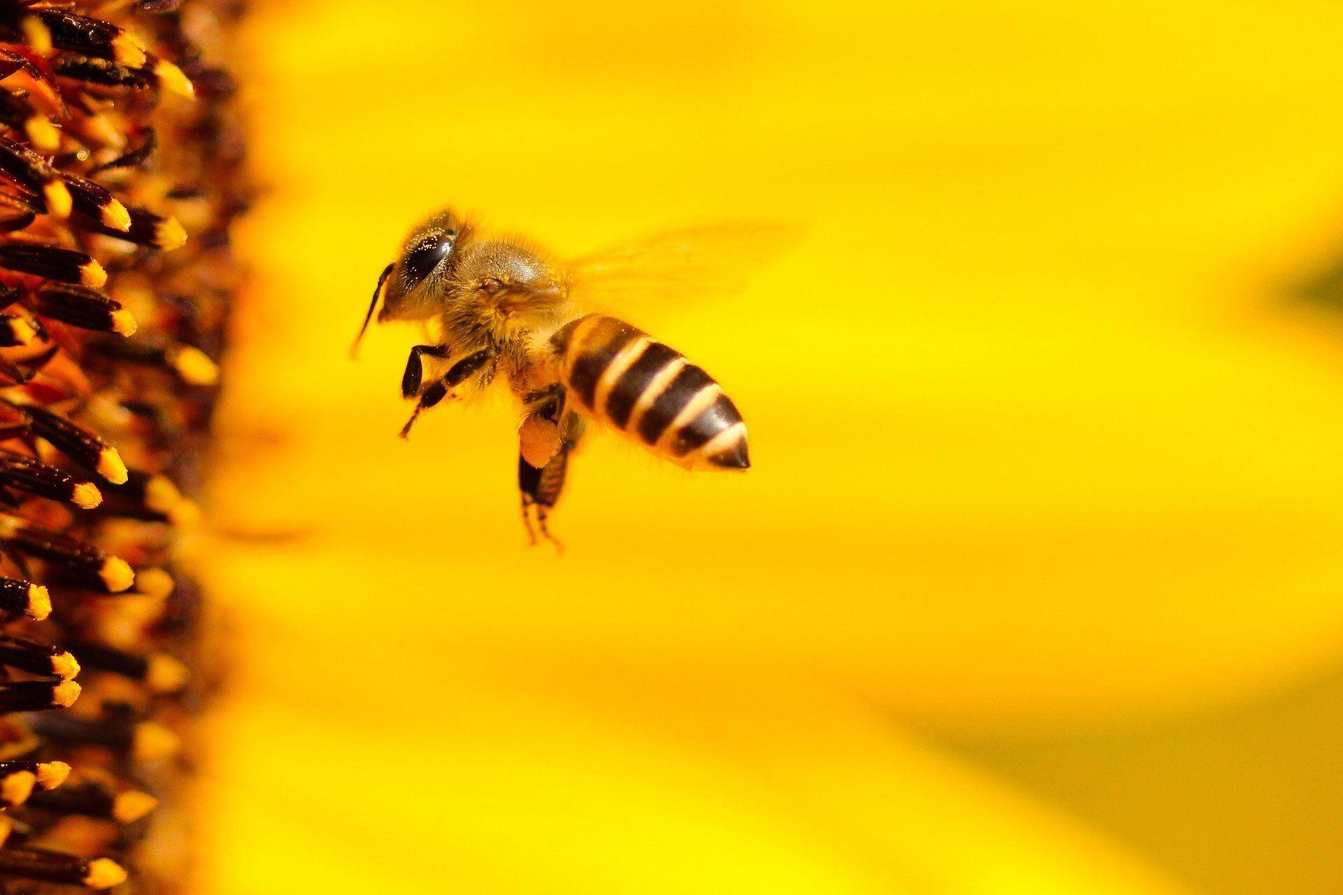 Большинство укусов пчел можно вылечить в домашних условиях