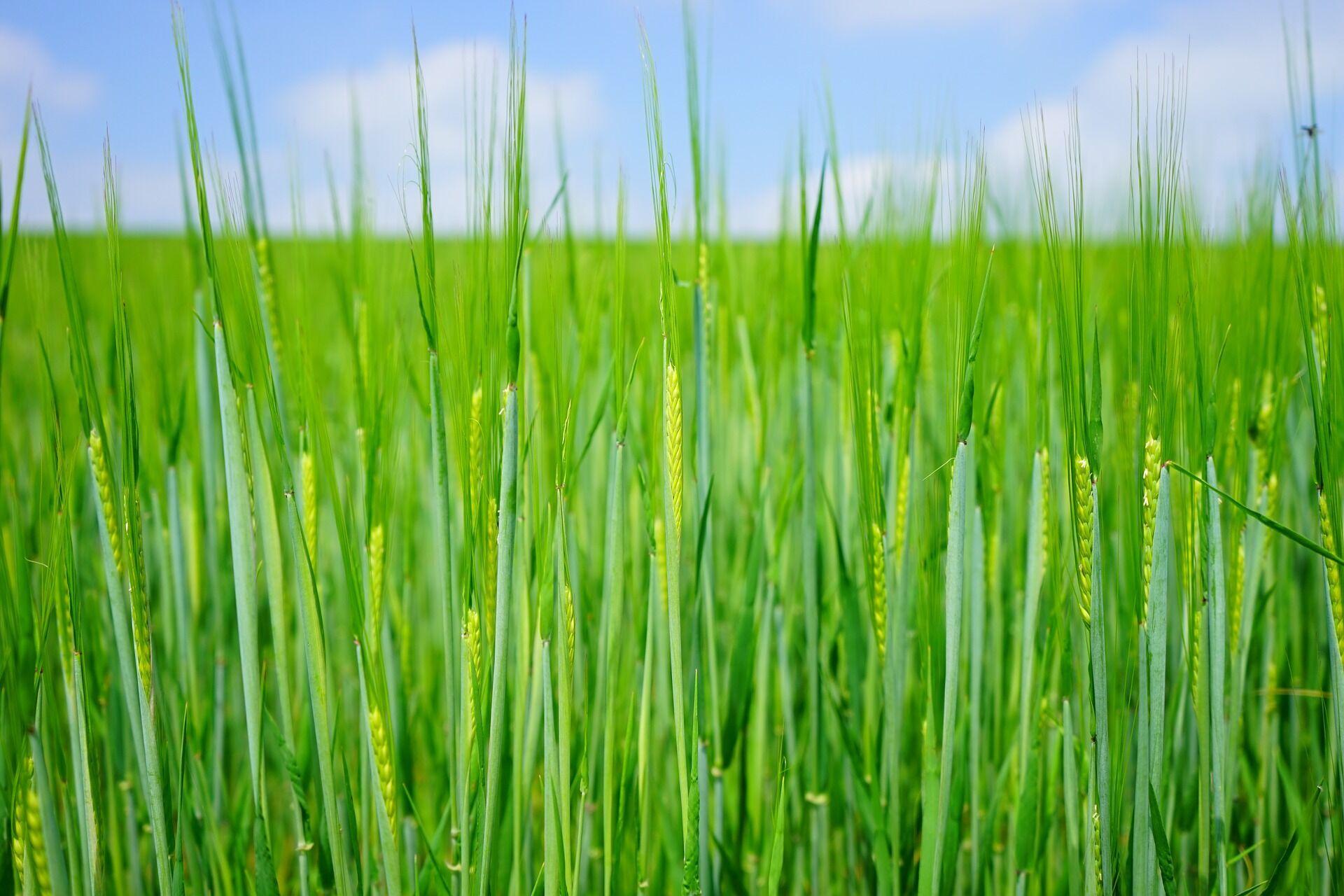 На Пахома Теплого зазвичай сіяли залишки пшениці